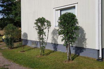 Talon edustan siistityt pienet puut